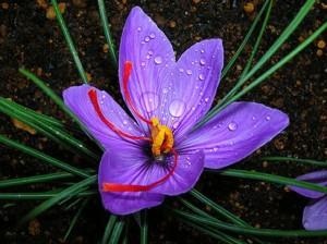 macrosaffron_flower-300x224